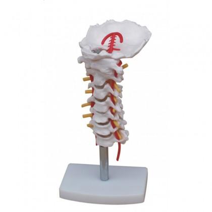 model kręgów szyjnych z tętnicą grzbietową