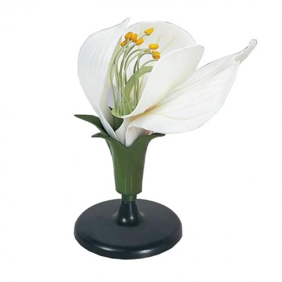 anatomiczny model kwiatu grochu
