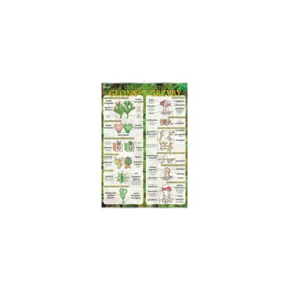 Glony i grzyby - cykl rozwojowy - plansza dydaktyczna