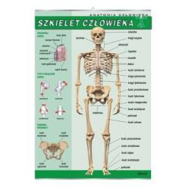 Szkielet człowieka - plansza dydaktyczna
