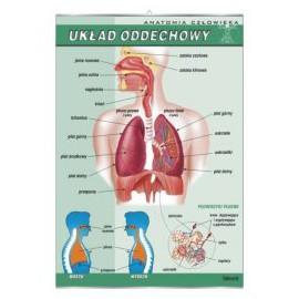 Układ oddechowy człowieka - plansza dydaktyczna