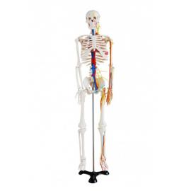 Szkielet z nerwami i naczyniami krwionośnymi - 85 cm