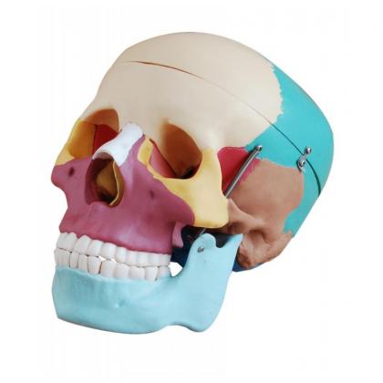 Kolorowy model czaszki człowieka - realny rozmiar